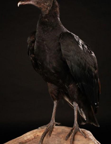 Vautour Urubu Noir