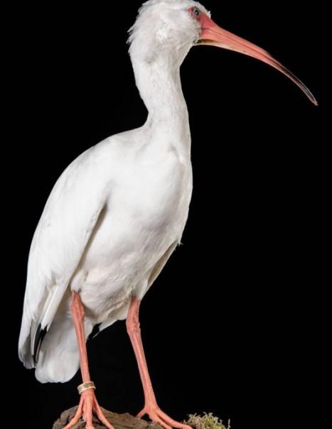 1384-ibis blanc-2