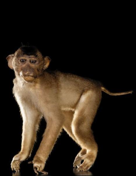 Southern pig tailed macaque macaca nemestrina masai - Queue de cochon outil ...