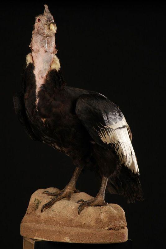 Condor Des Andes 1