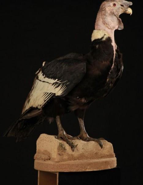 Condor Des Andes 3