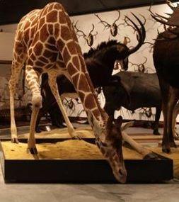Girafe qui boit