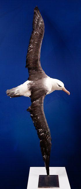 21 Albatros à l'envol