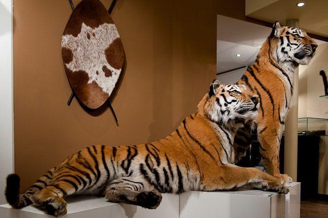 45 Couple Tigre du Bengal