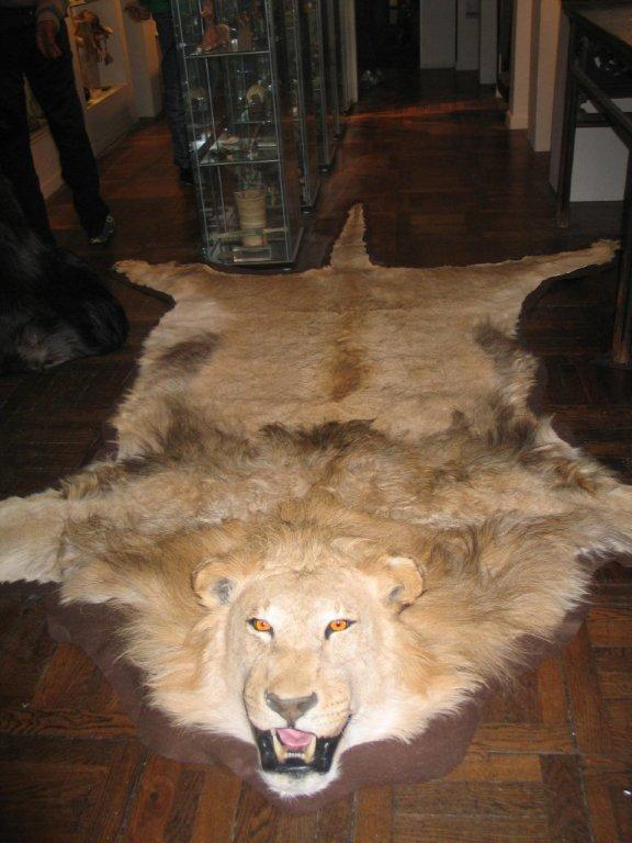 African Lion Rug For Sale Masa 239 Gallery