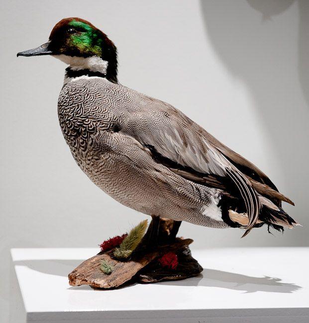 53 Canard Col Vert
