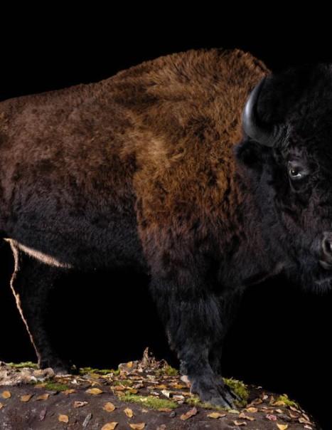 Bison-Modifier
