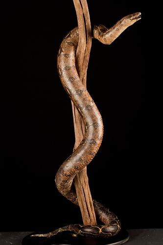 Boa constricteur -Boa constrictor
