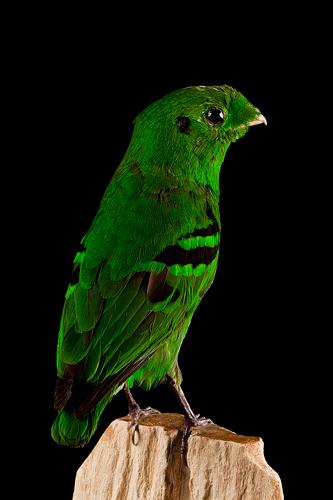 Euryclaime vert – calyptomena viridis – Green Broadbill  2