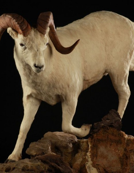 Mouflon de Dall 1