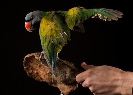 Perruche de Derby - Psittacula derbiana - Lord Derby's Parakeet 1