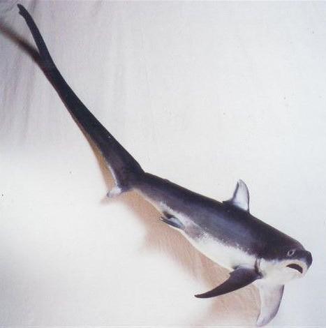 Requin Renard 1