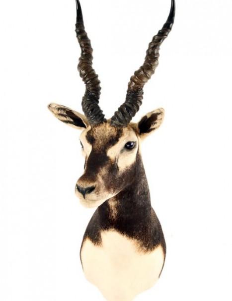antilope cervicapre (2)
