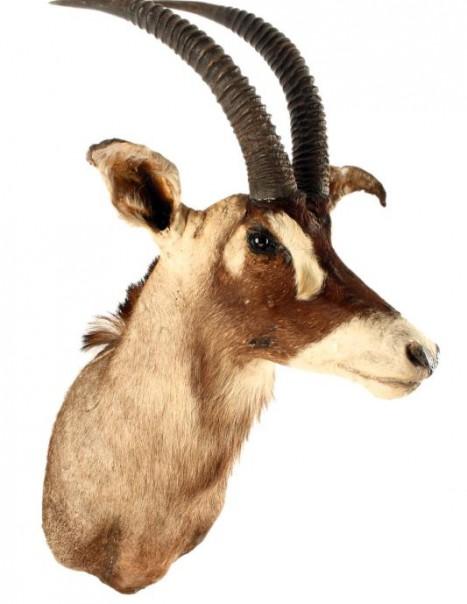 antilope rouane