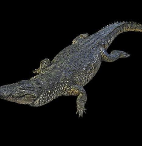 krokodil aligator (26)