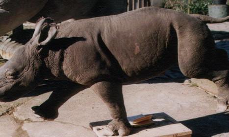 rhinocerosindienjeune