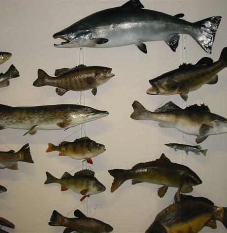 Saumon Atlantique et Divers