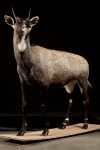 Antilope  Nilgaut