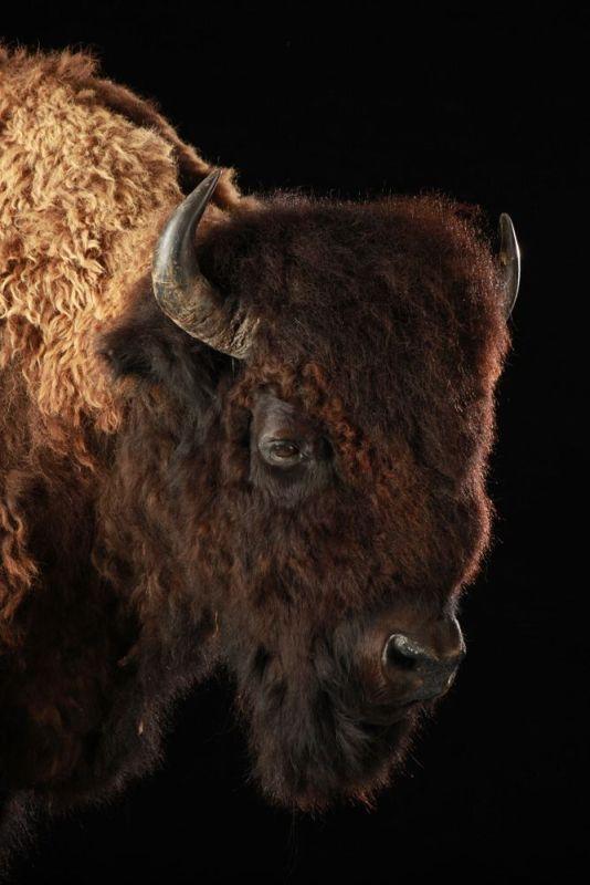 Bison Americain 1