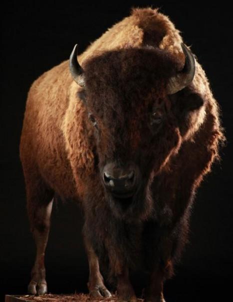Bison Americain (2)