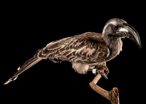 Calao gris - Ocyceros griseus - Malabar Grey Hornbill 1