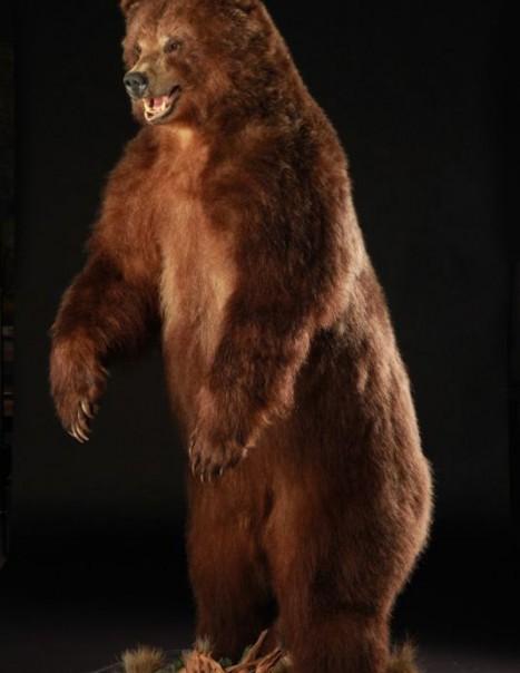 Ours du Kamtchatka