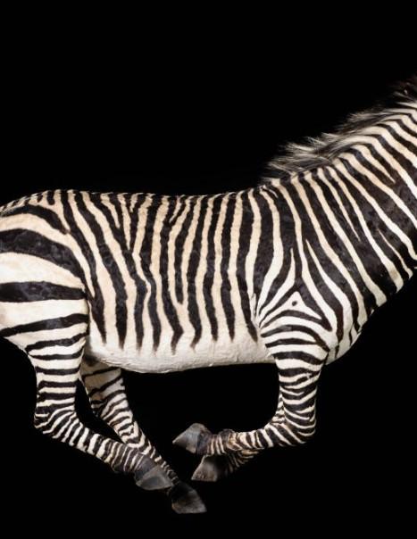 Zebre-Modifier