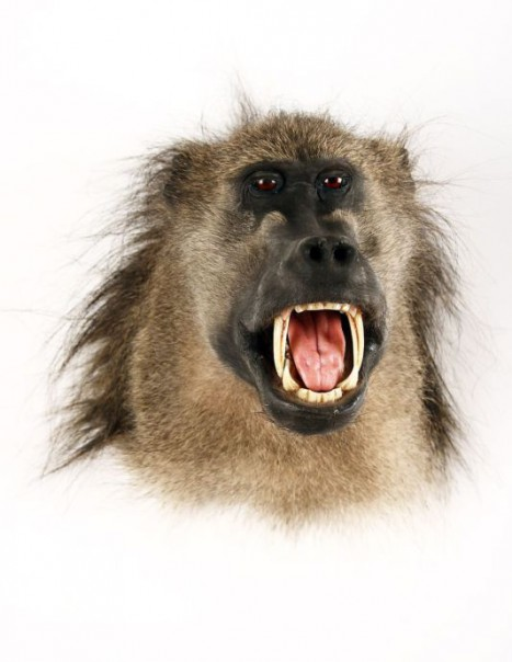 babouin chacma