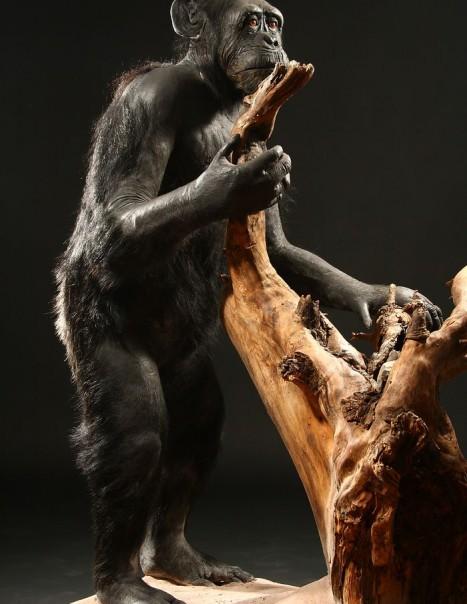 chimpanze