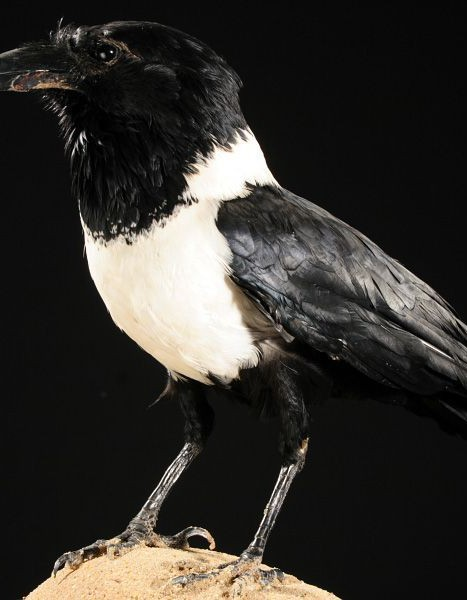 corbeau pie