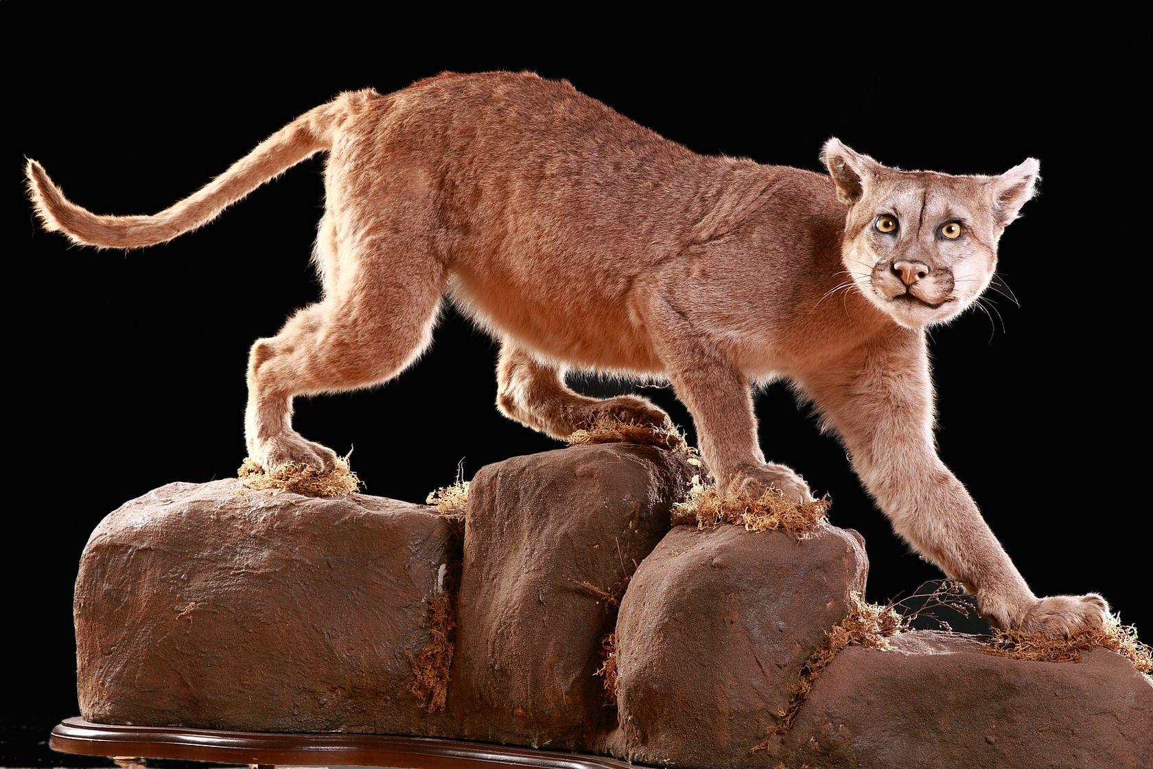 Cougar Puma Stuffed Puma Concolor Masai Gallery