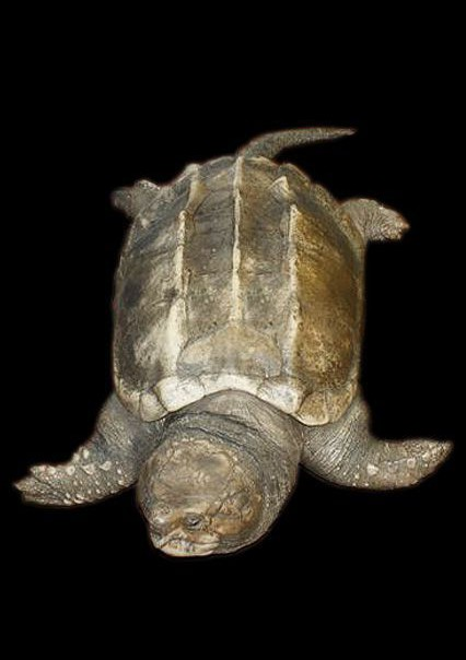 Tortue Alligaror Snapper