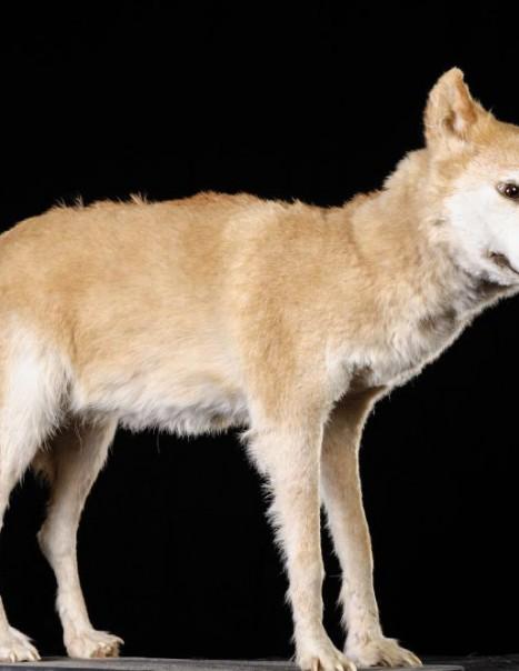 1139-Dingo