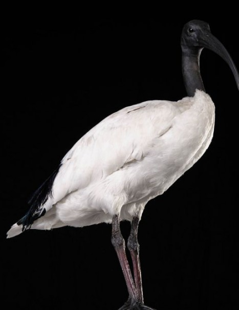 1325-sacred ibis