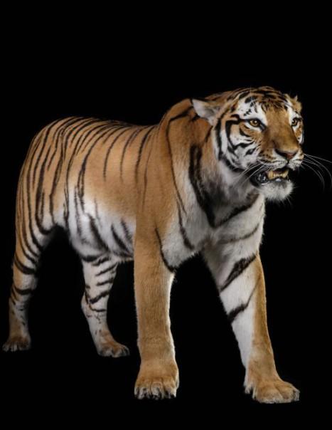 1421-Tigre-Modifier