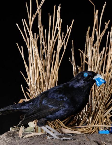 1453-SatinBower Bird Withnest