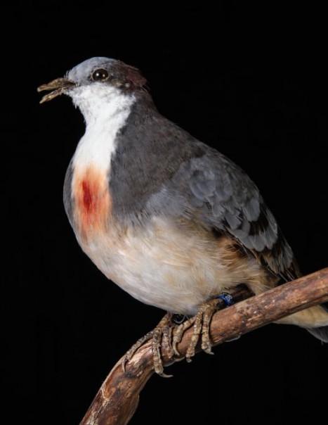 312-colombe poignardee-2