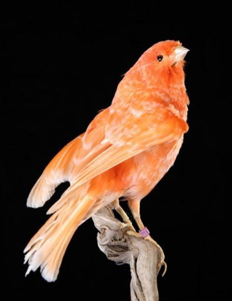 766-canari rouge