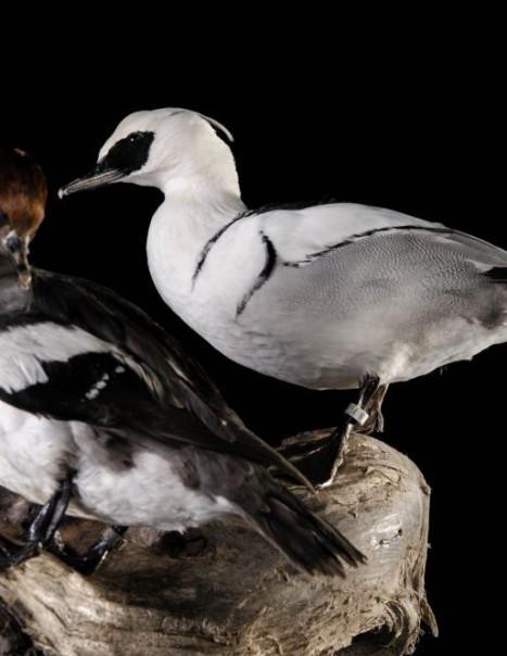 798-799 harle piette male et femelle