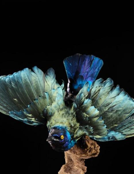 Choucador a oreillons bleus