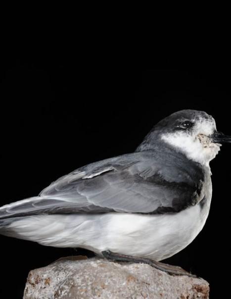 Halobaena Caerulea