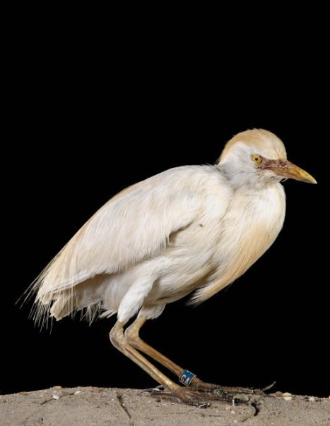 Heron Garde Boeuf