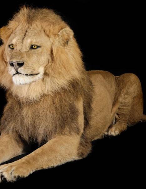 Lion D'Asie-Modifier