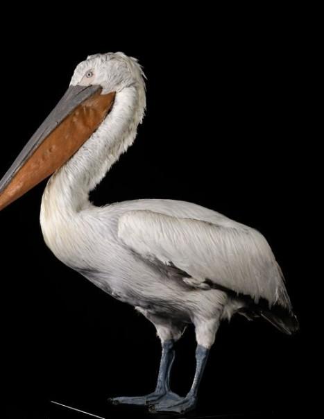 Pelican Frise-2