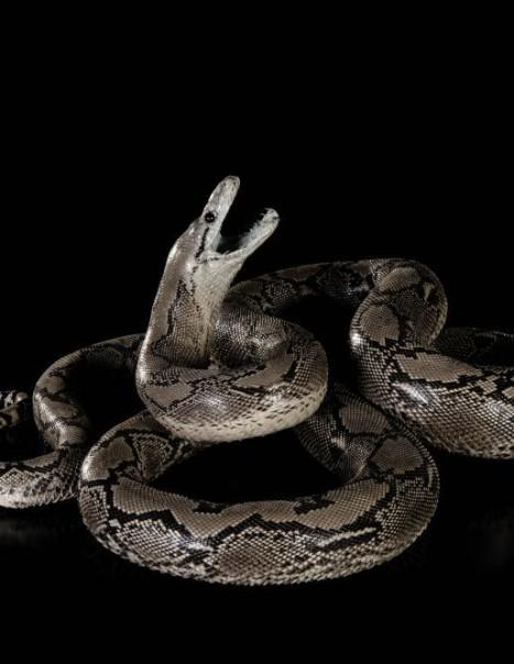 Python Repticule-Modifier