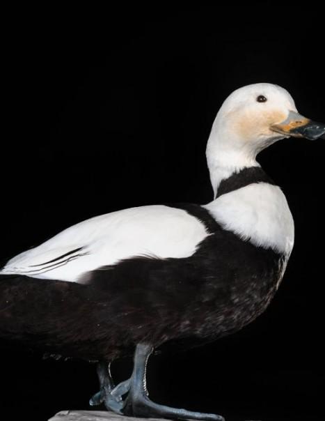 Reprocduction Canard du Labrador