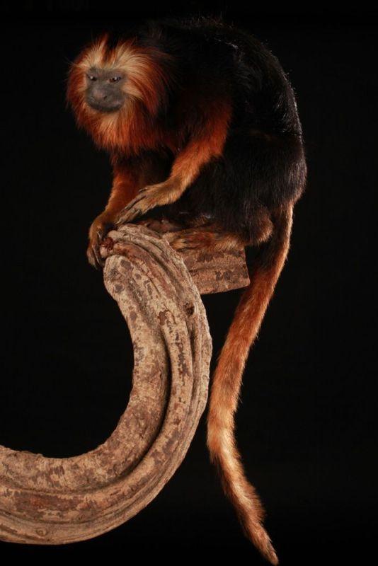 Tamarin Lion à Têt Dorée