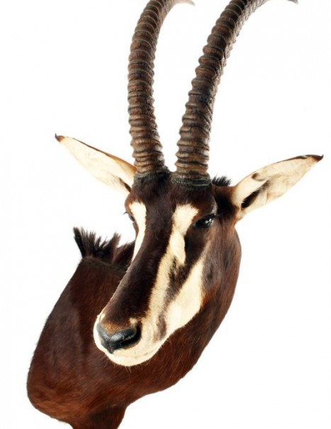 antilope sable
