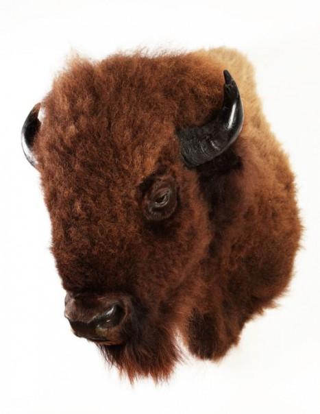 bison europeen
