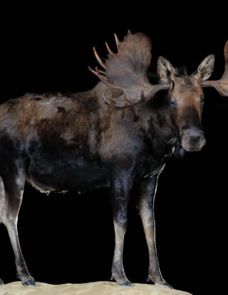moose d'alaska